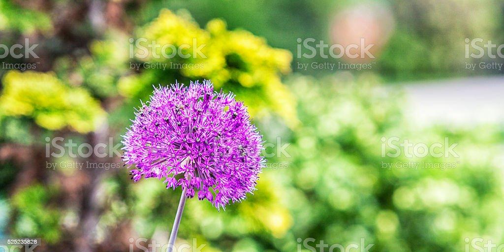 Purple Allium Flower Spring Bloom stock photo