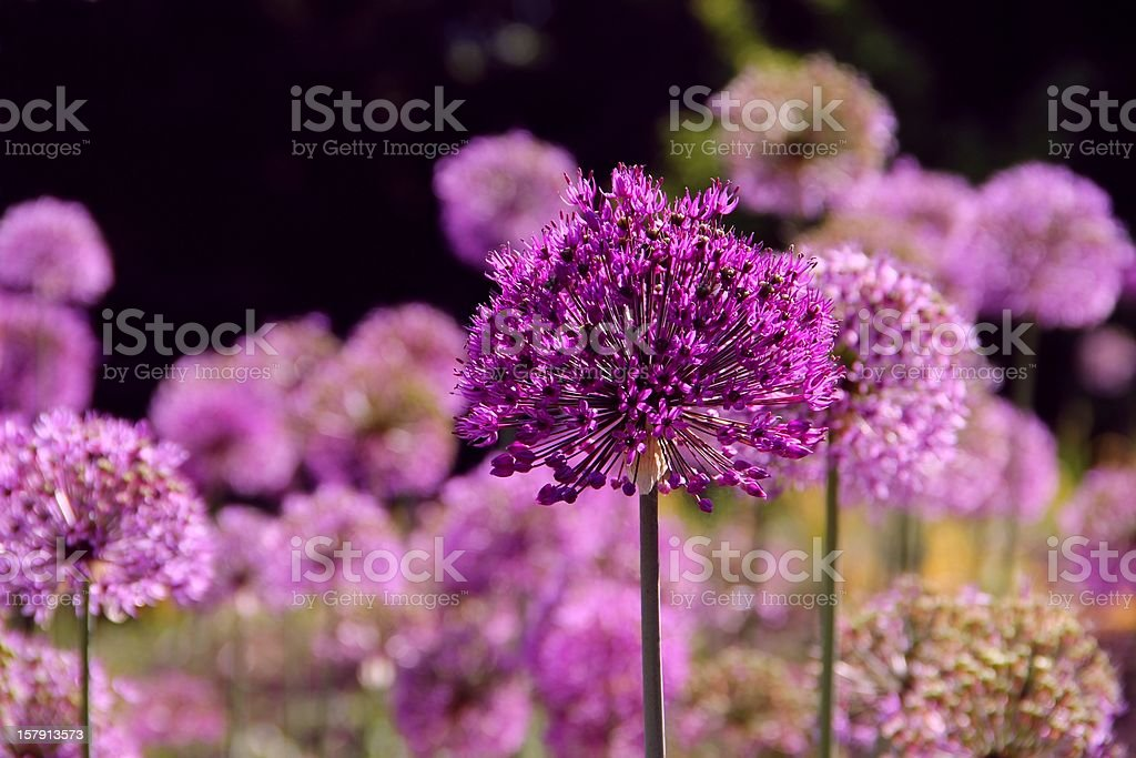 Purple allium flowers royalty-free stock photo