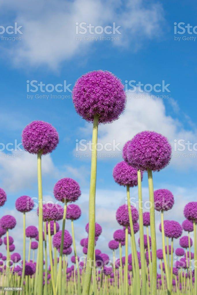 Purple allium flowers stock photo