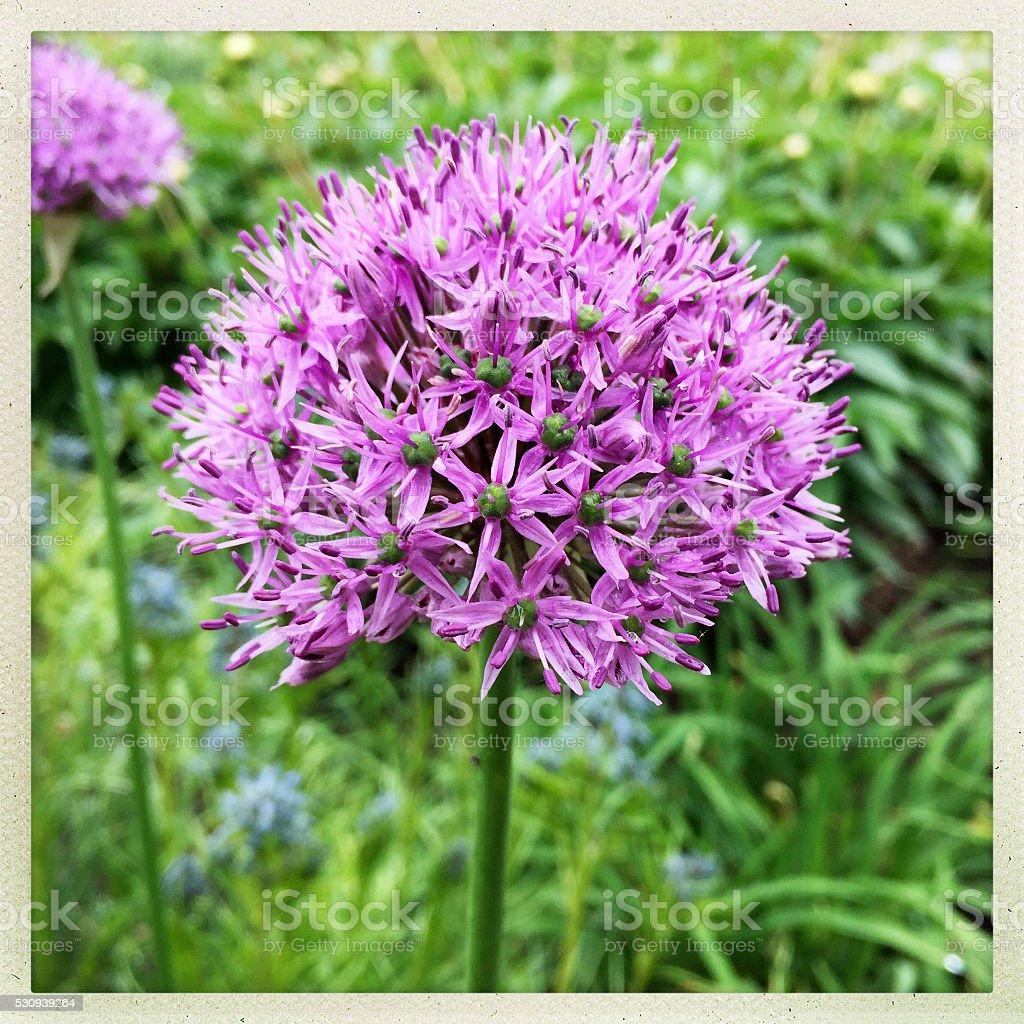 Purple Allium in Spring Flower Garden stock photo
