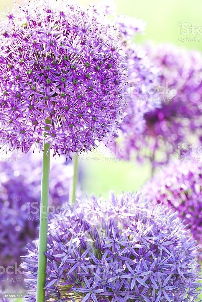 Purple Allium royalty-free stock photo