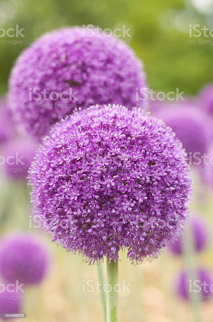 Purple Allium stock photo