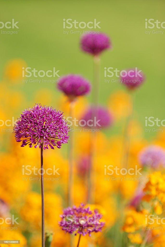 purple allium with orange flowers in the garden royalty-free stock photo