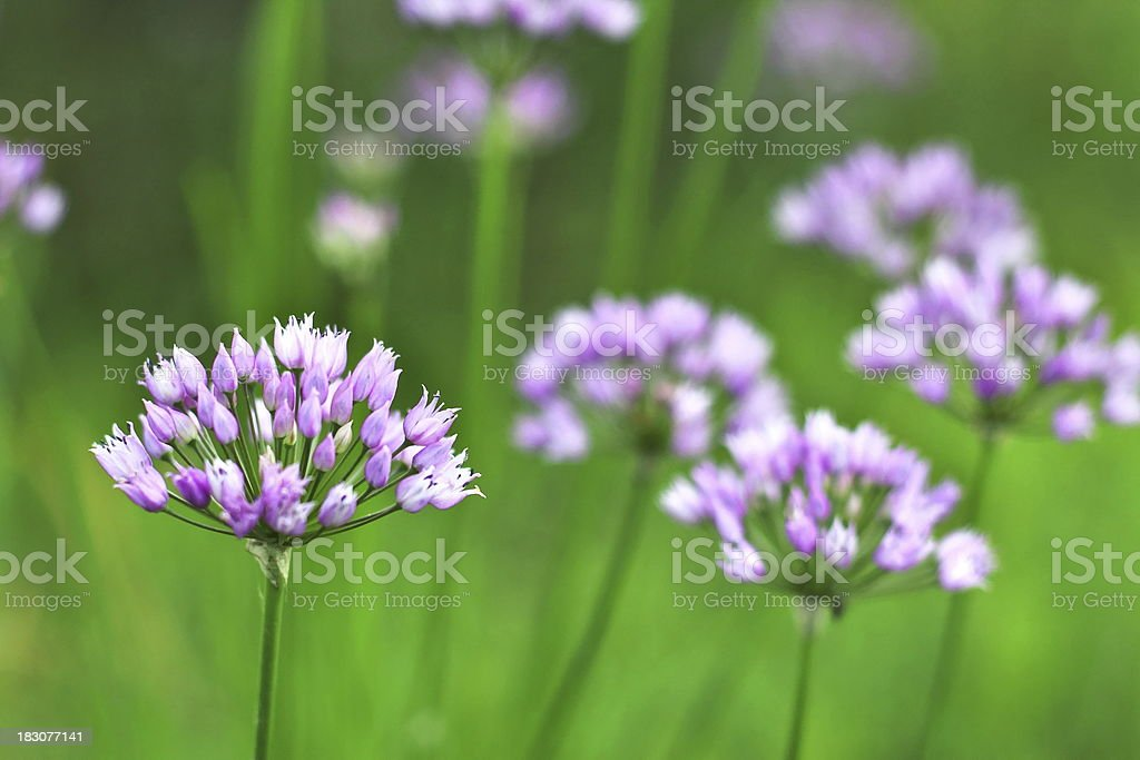 Purple Alllium royalty-free stock photo