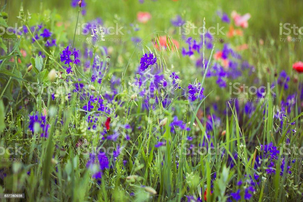 Purple Alpine Fireweed closeup in last summer stock photo