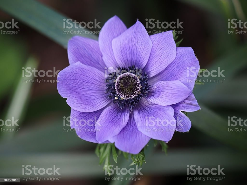Purple anamone stock photo