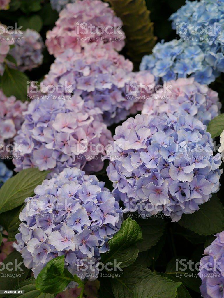 Purple and Blue Hydrangeas, Melbourne, Australia stock photo