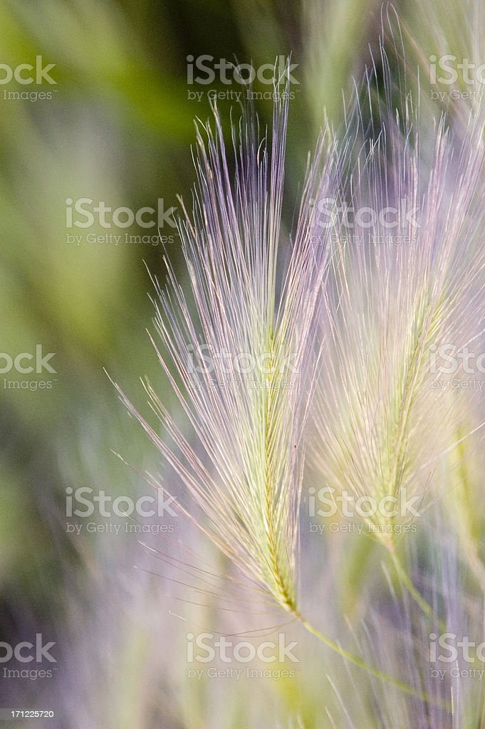 Purple and green colors of wheat grass royalty-free stock photo