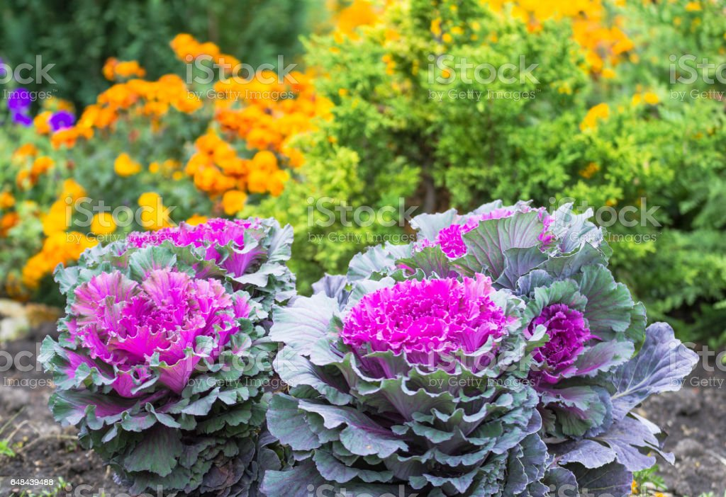 Purple and green decorative cabbage, ornamental cabbage plants. Top view on flowering ornamental cabbage. stock photo