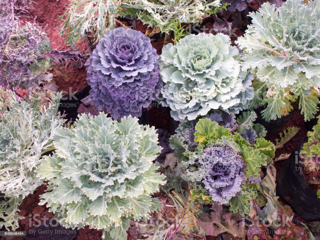 Purple and green salad vegetable in garden. stock photo