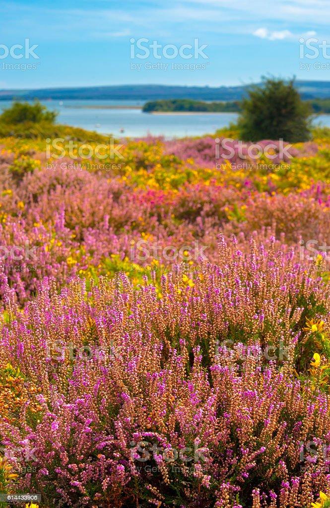 Purple and pink heather on Dorset heathland near Poole Harbour stock photo