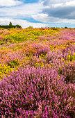 Purple and pink heather on Dorset heathland near Poole Harbour
