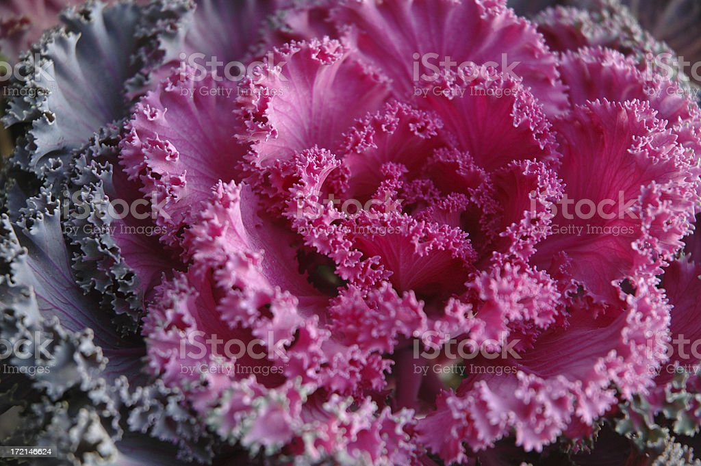 Purple and Pink Kale in Container royalty-free stock photo