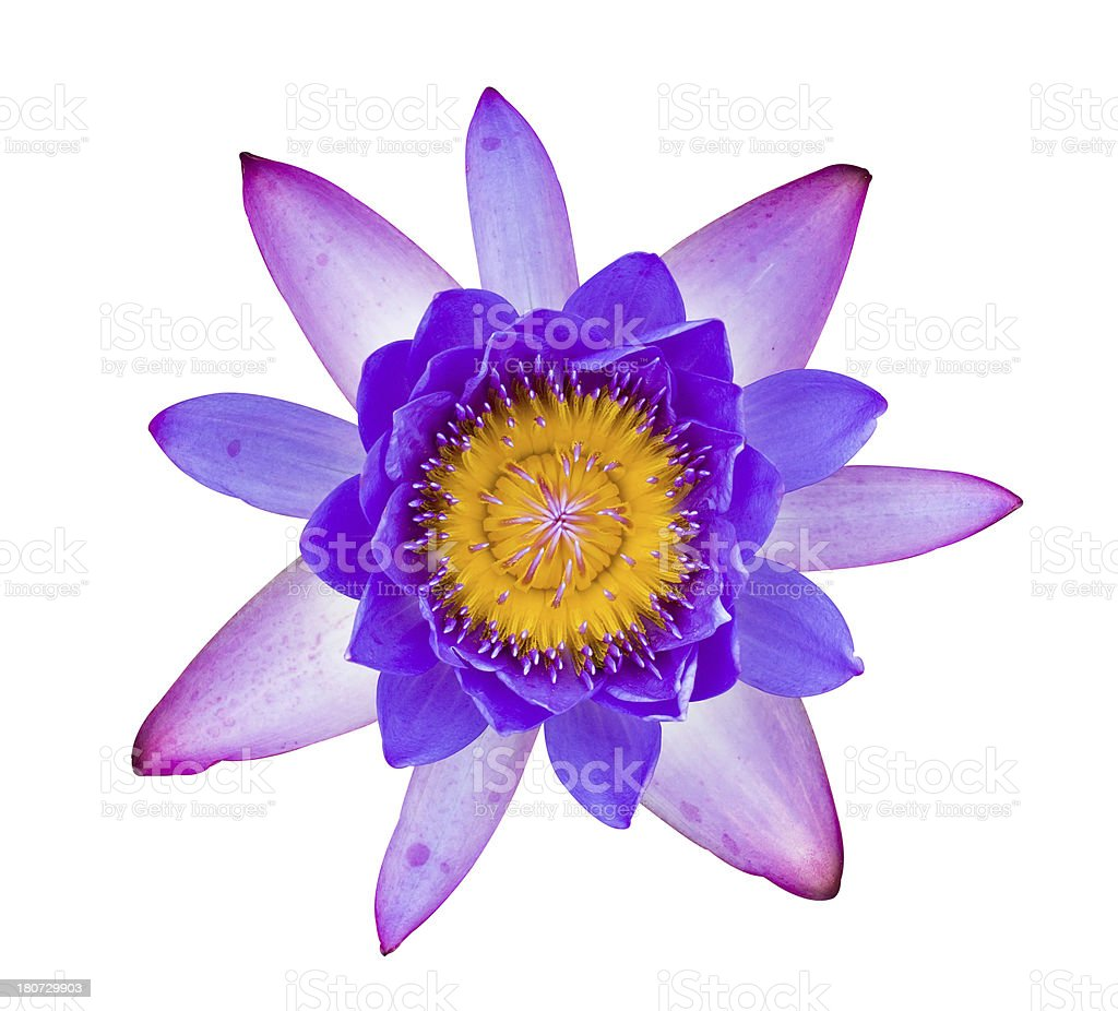 Purple and pink water lily isolated royalty-free stock photo