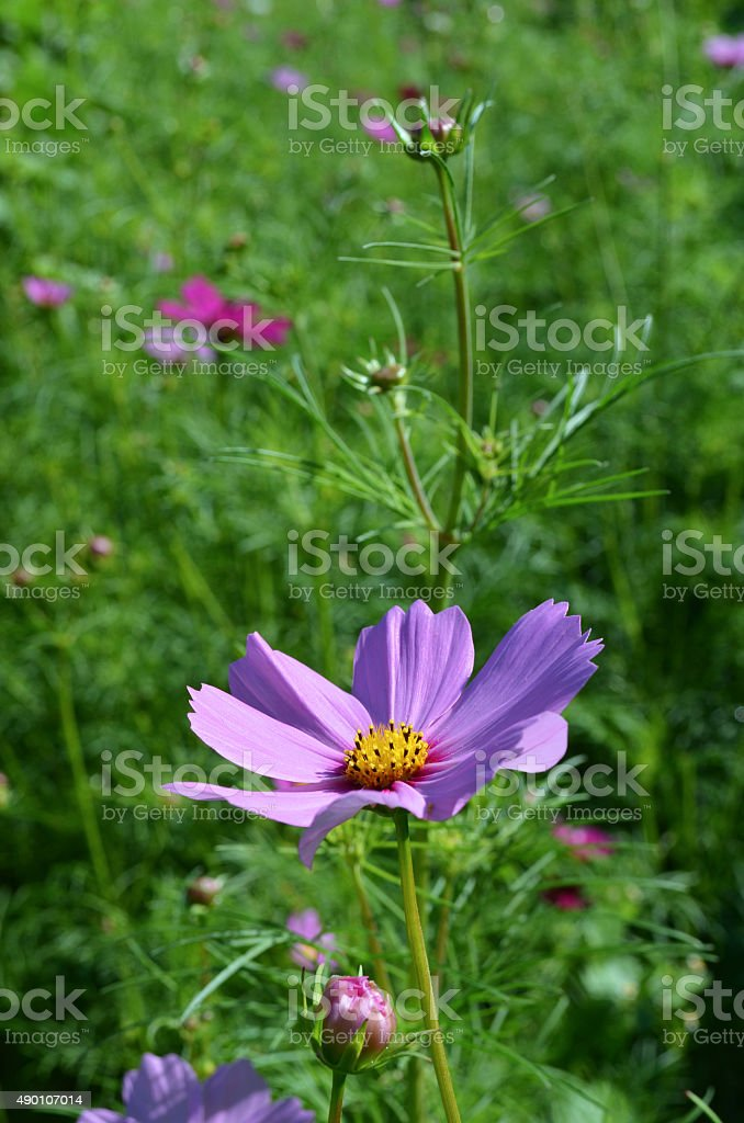 Purple and Red Anemone stock photo