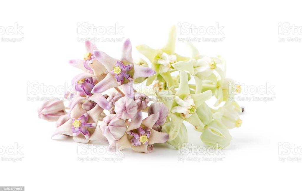 Purple and white crown flower (Calotropis gigantea) stock photo