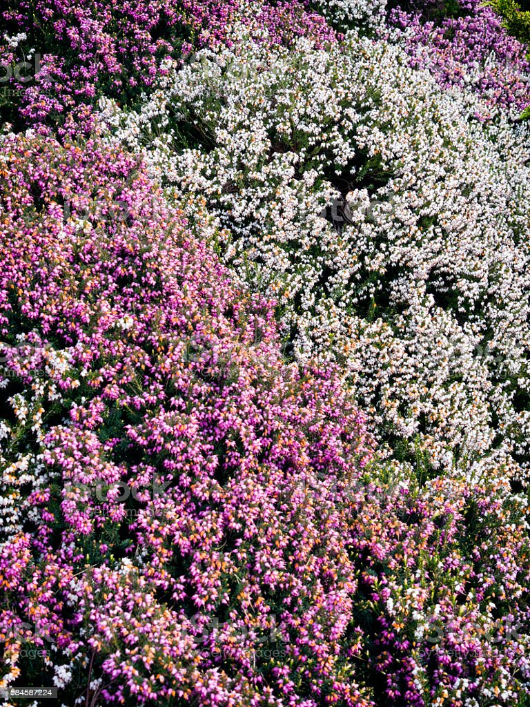 Purple and white heather stock photo