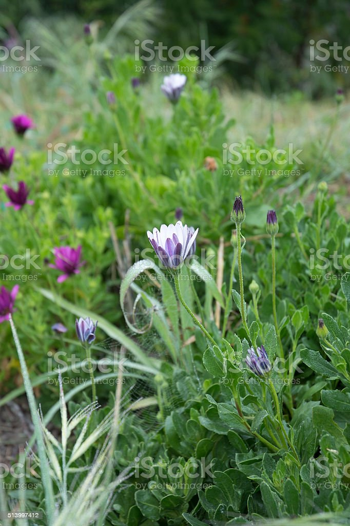 Purple And White Ice Plant Flowers stock photo
