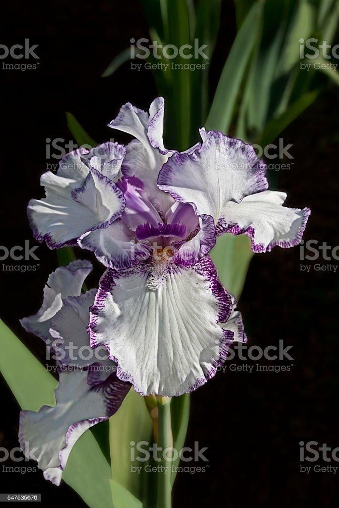 Purple and White Iris - 1583 stock photo