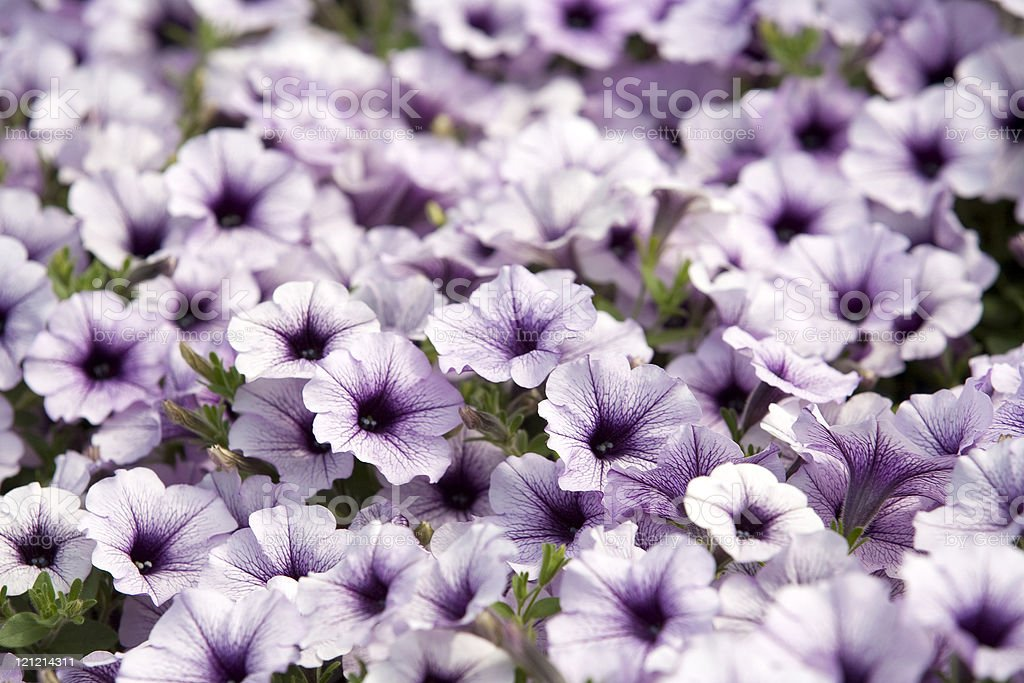 Purple and White Petunias stock photo