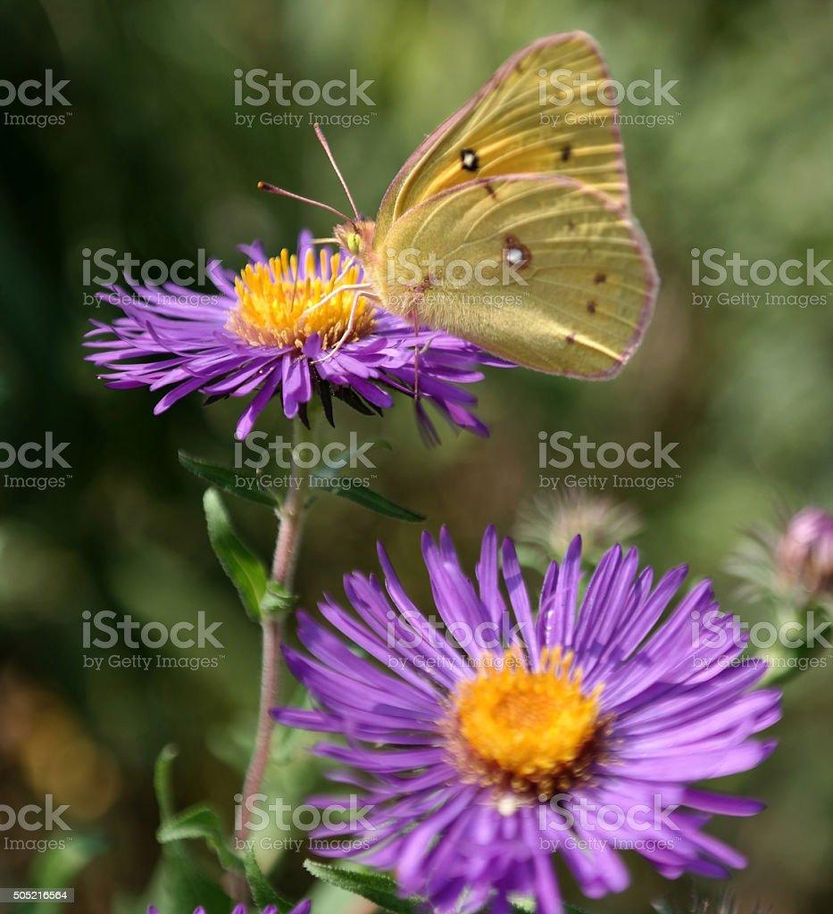 Lila und Gelb Schmetterling auf Blume Lizenzfreies stock-foto