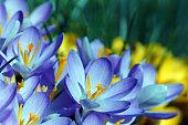 Purple and yellow crocuses