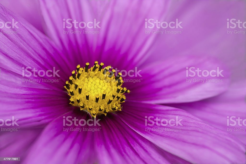 purple and yellow stock photo
