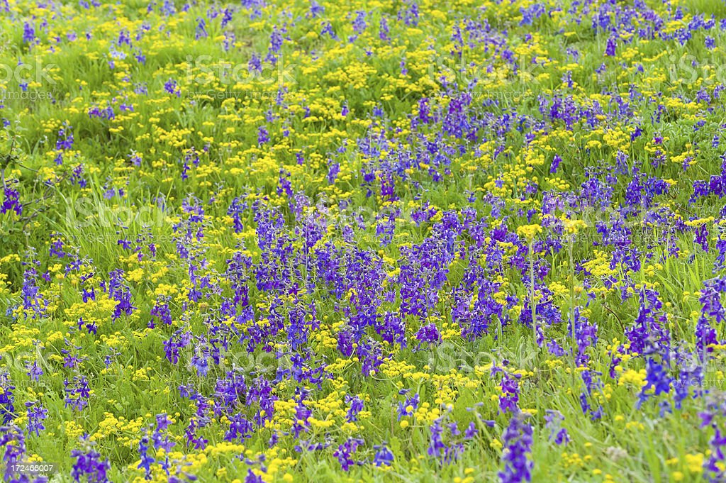 Purple and Yellow Wildflowers royalty-free stock photo