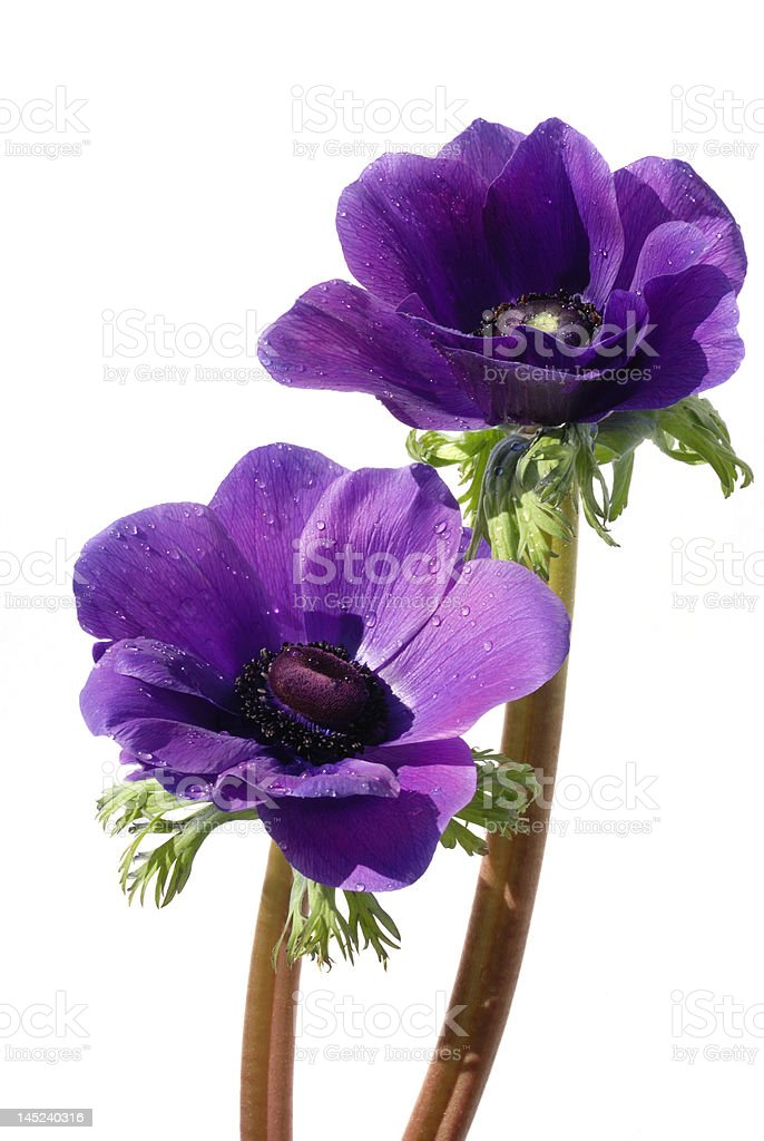 Purple anemone flower isolated on white background royalty-free stock photo
