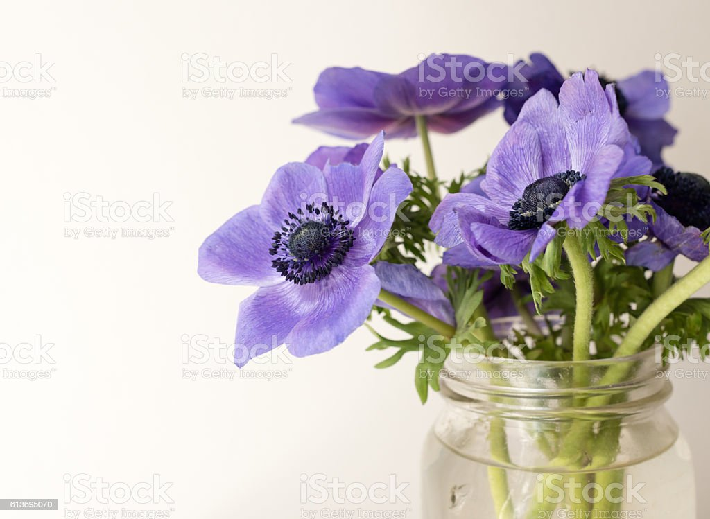 Purple anemone flowers close up stock photo