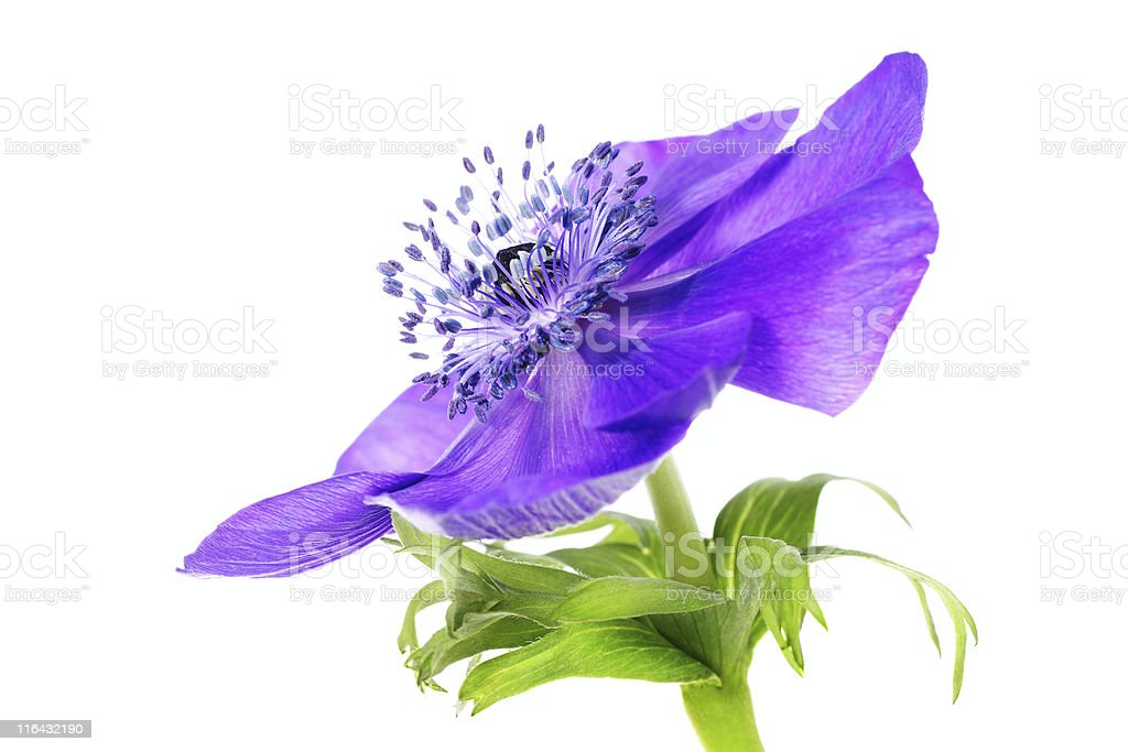 purple anemone royalty-free stock photo
