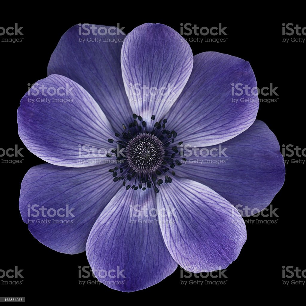 Purple anemone poppy isolated on black royalty-free stock photo