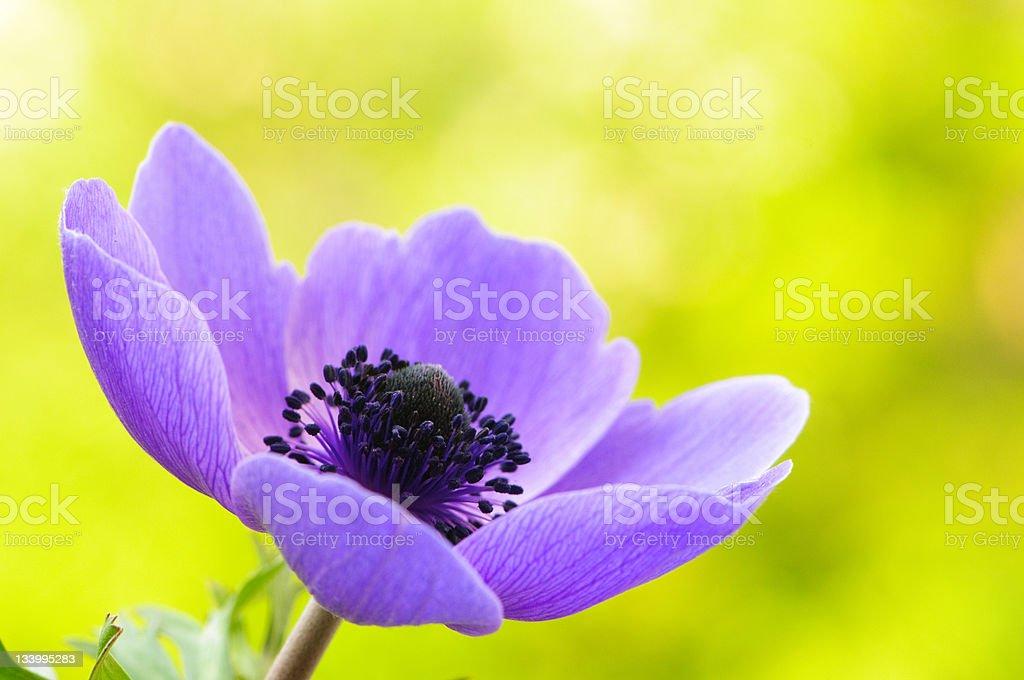 Purple anemone poppy royalty-free stock photo