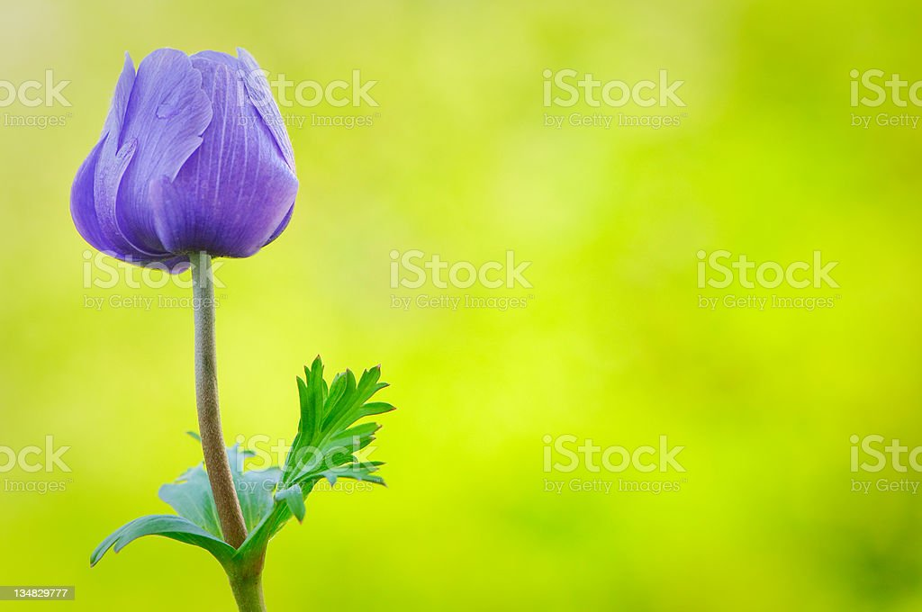 Purple anemone poppy royalty-free stock photo
