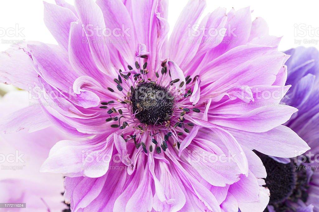 purple anemones royalty-free stock photo