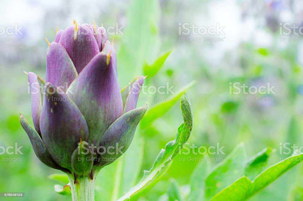 Purple Artichoke close-up with garden bokeh stock photo