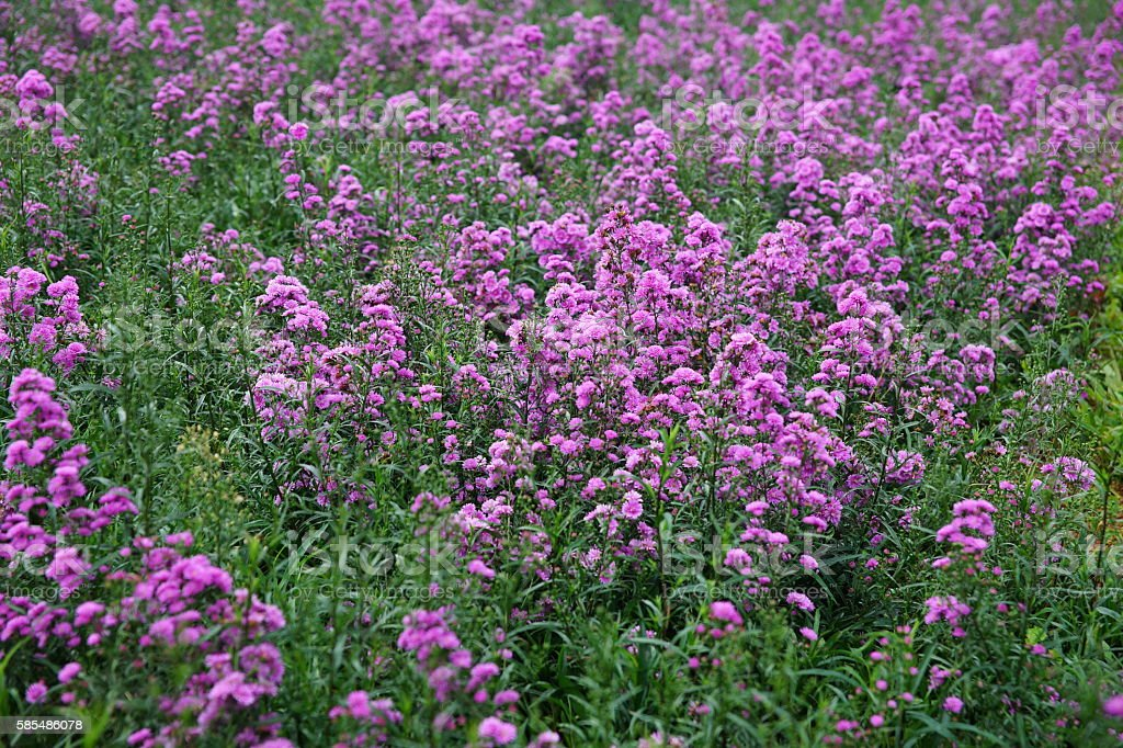 Purple Aster amellus in the sunlight stock photo