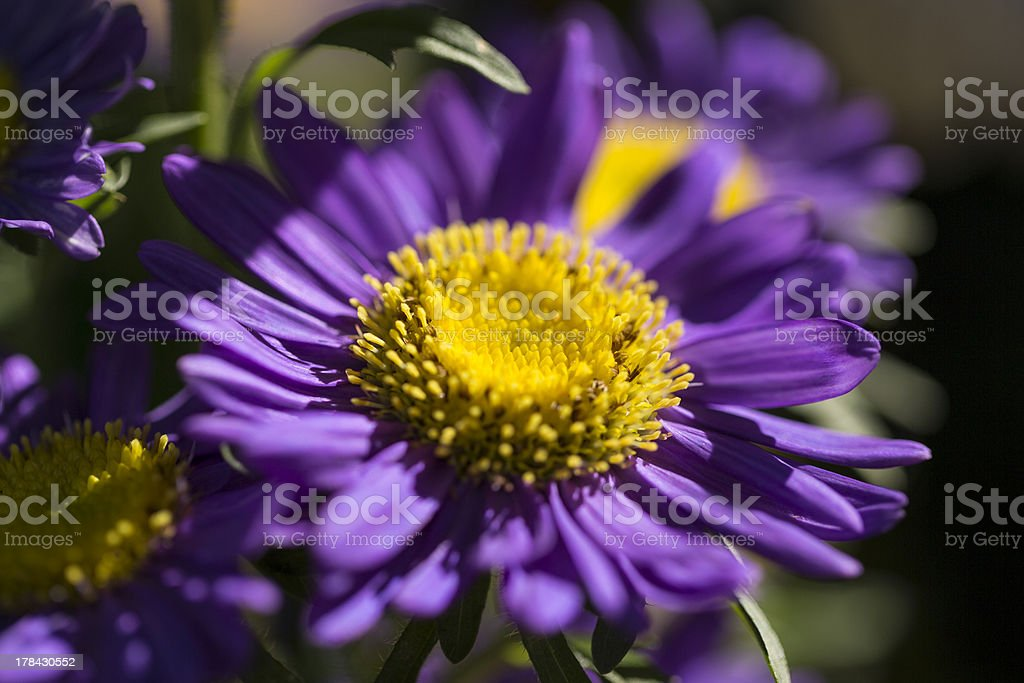 Purple Aster Daisy royalty-free stock photo