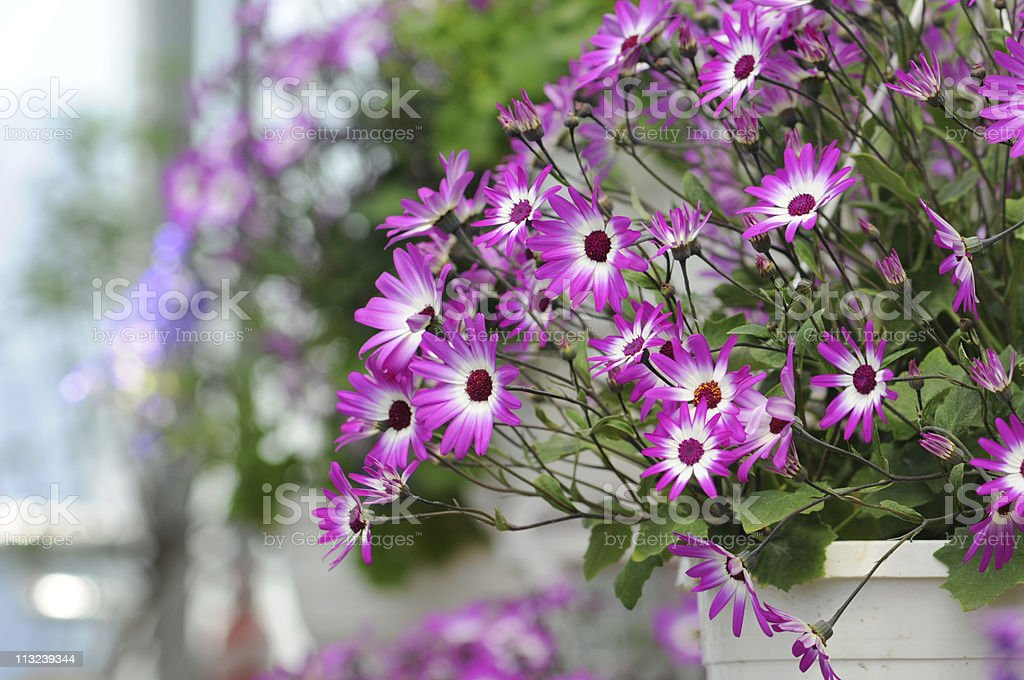 purple aster in a hanging basket stock photo