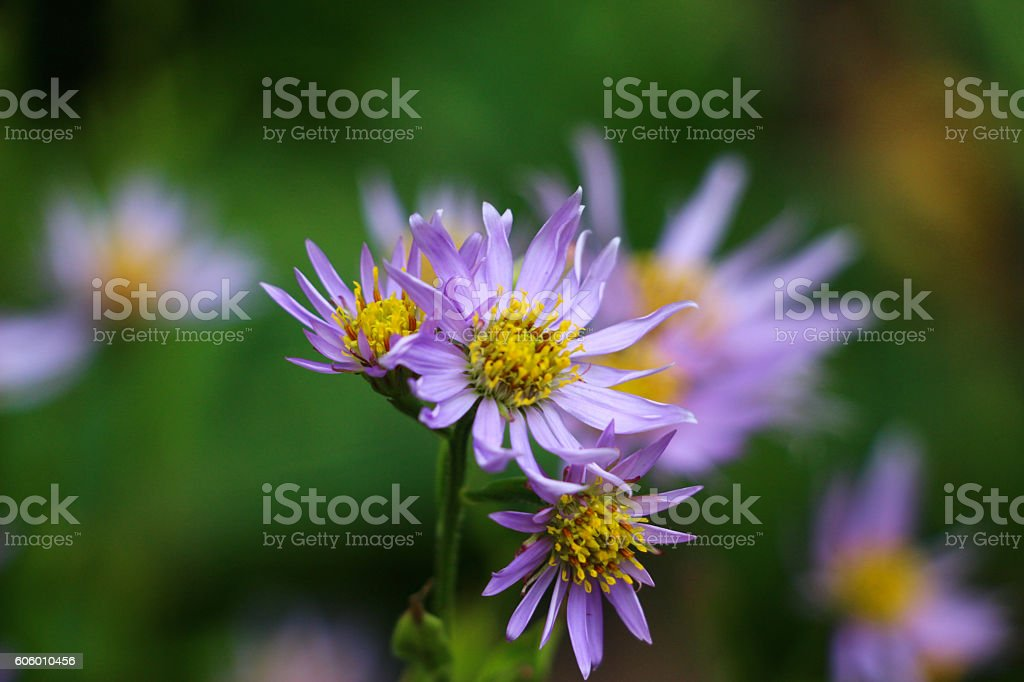 Purple Aster stock photo