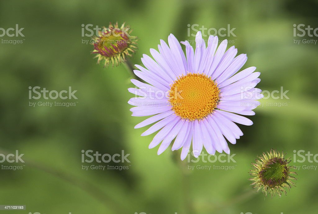 Purple Aster Symphyotrichum puniceum Wildflower royalty-free stock photo
