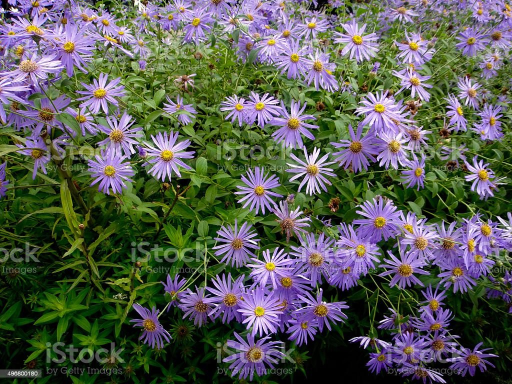 Purple Asters stock photo