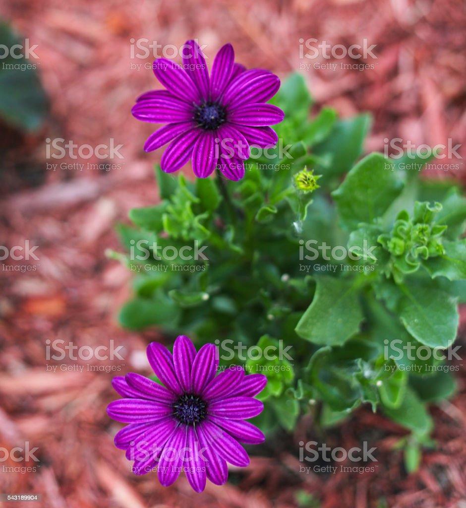 Purple asti plant stock photo