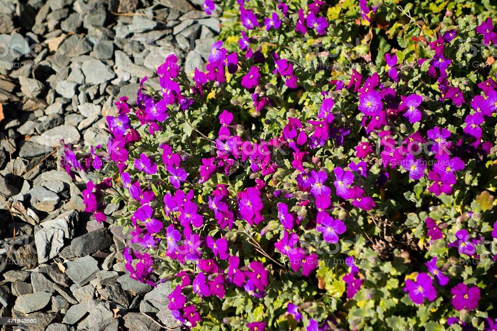 Purple aubretia and grey slate chippings stock photo