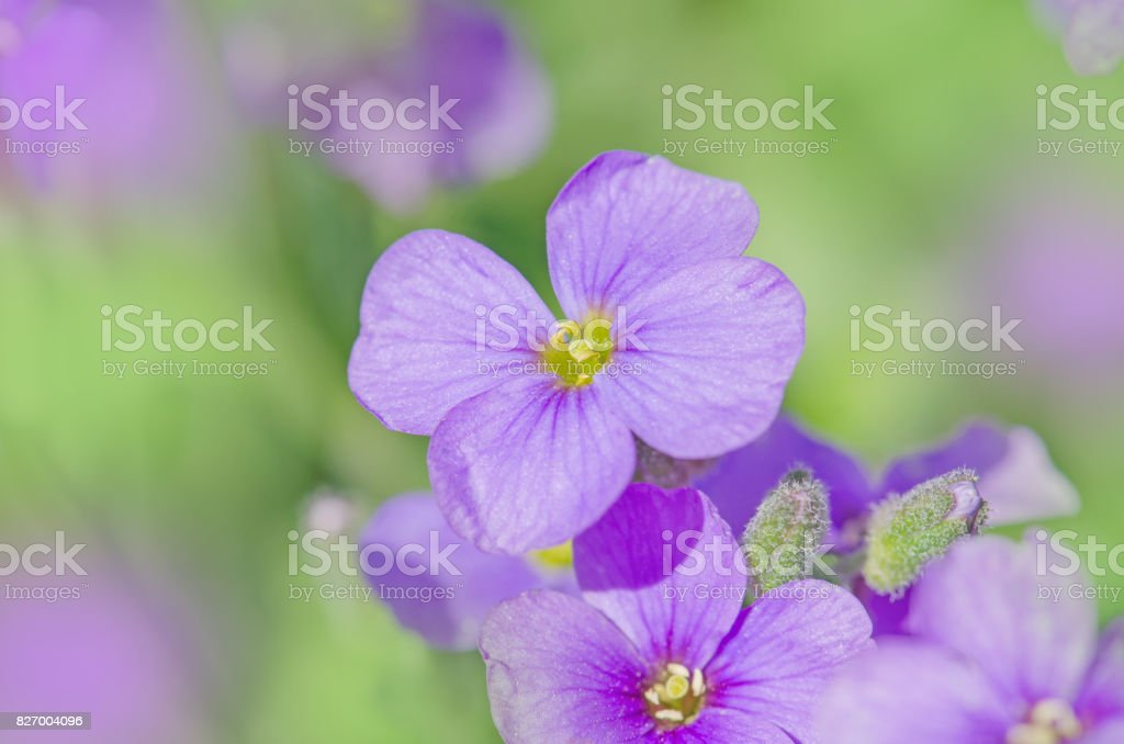 Purple Aubrieta flowers. Purple  spring flowers in the garden stock photo