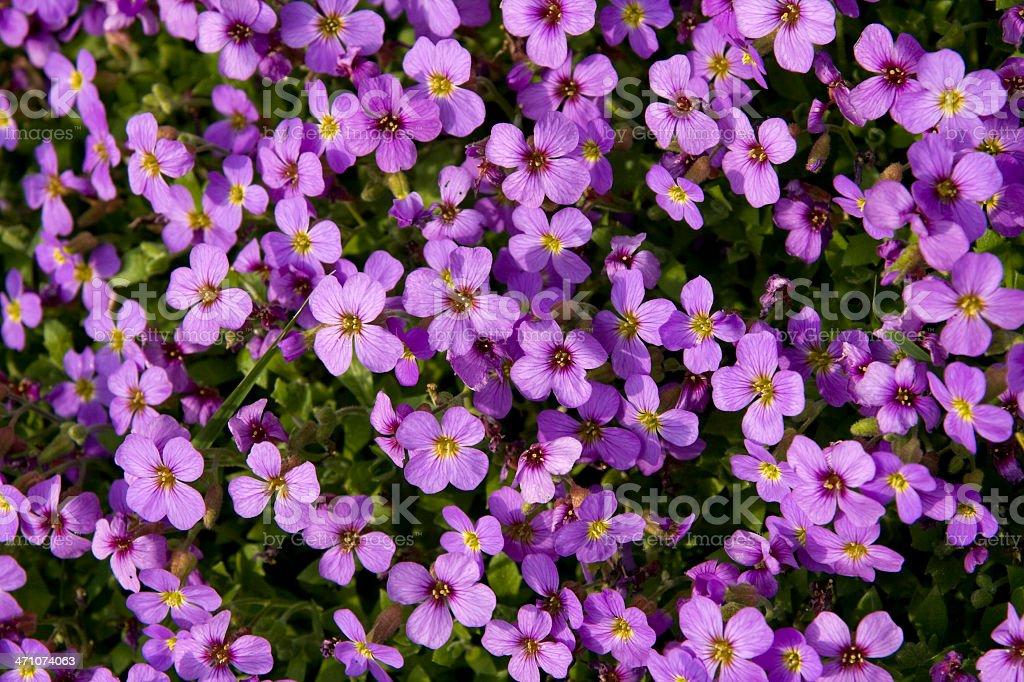 Purple aubrieta royalty-free stock photo