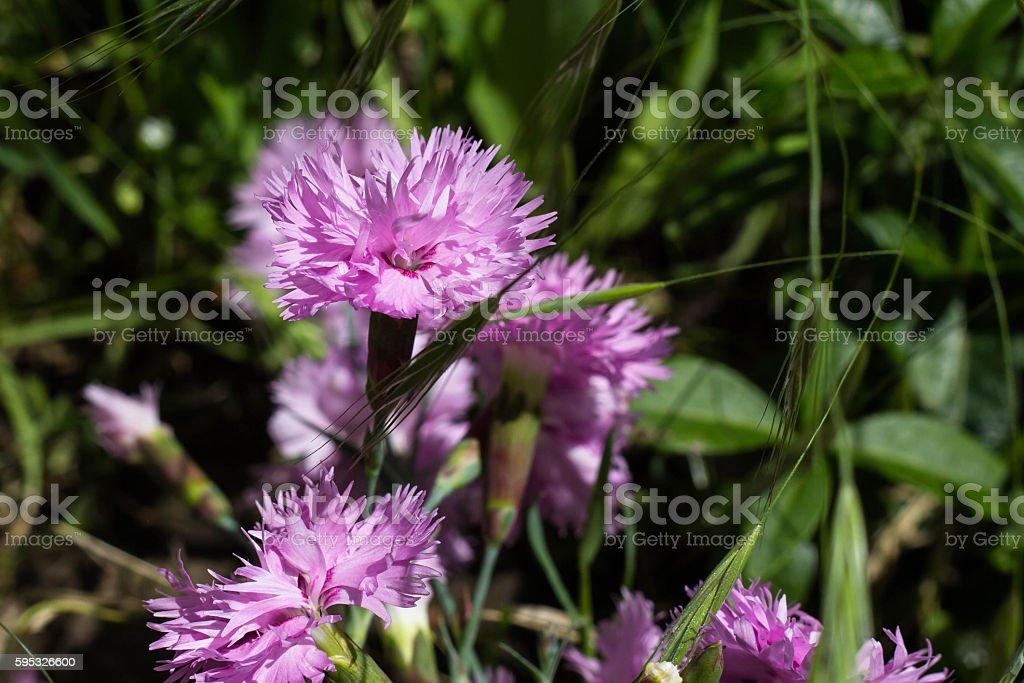 purple autumn flowers stock photo
