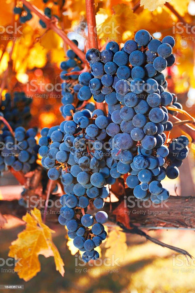 Purple autumn grapes royalty-free stock photo