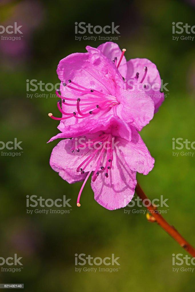 Purple azalea flower close up royalty-free stock photo