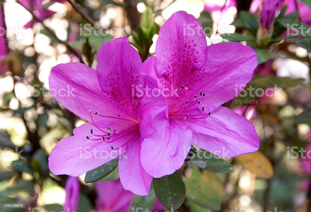 Purple Azalea royalty-free stock photo